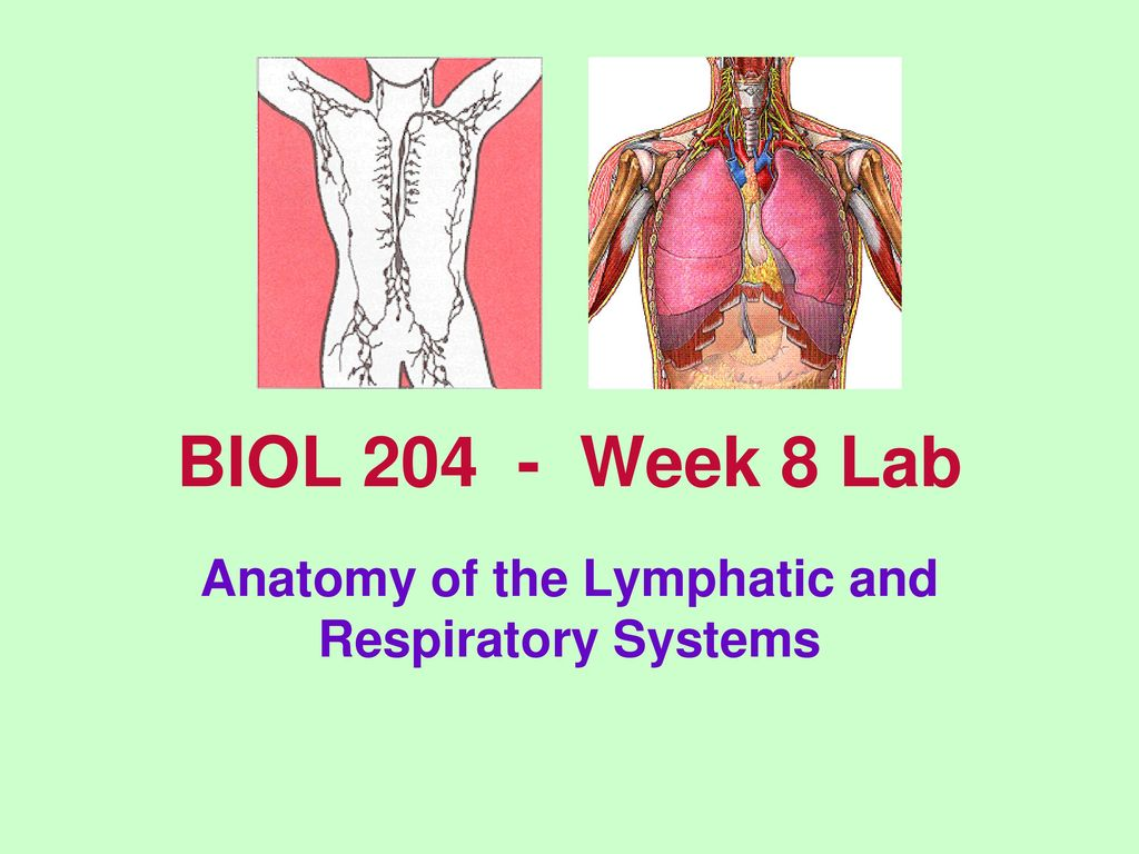 Anatomy of the Lymphatic and Respiratory Systems - ppt download