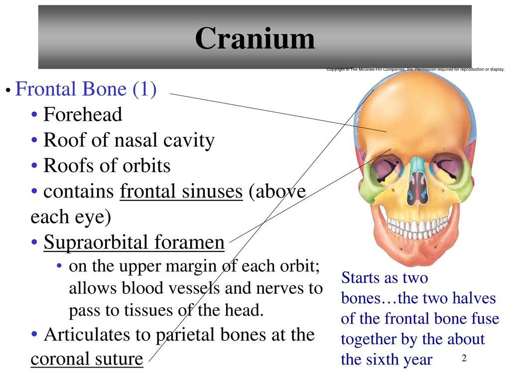8 Bones Of The Cranium 1 Frontal Bone 2 Parietal Bones Ppt Video
