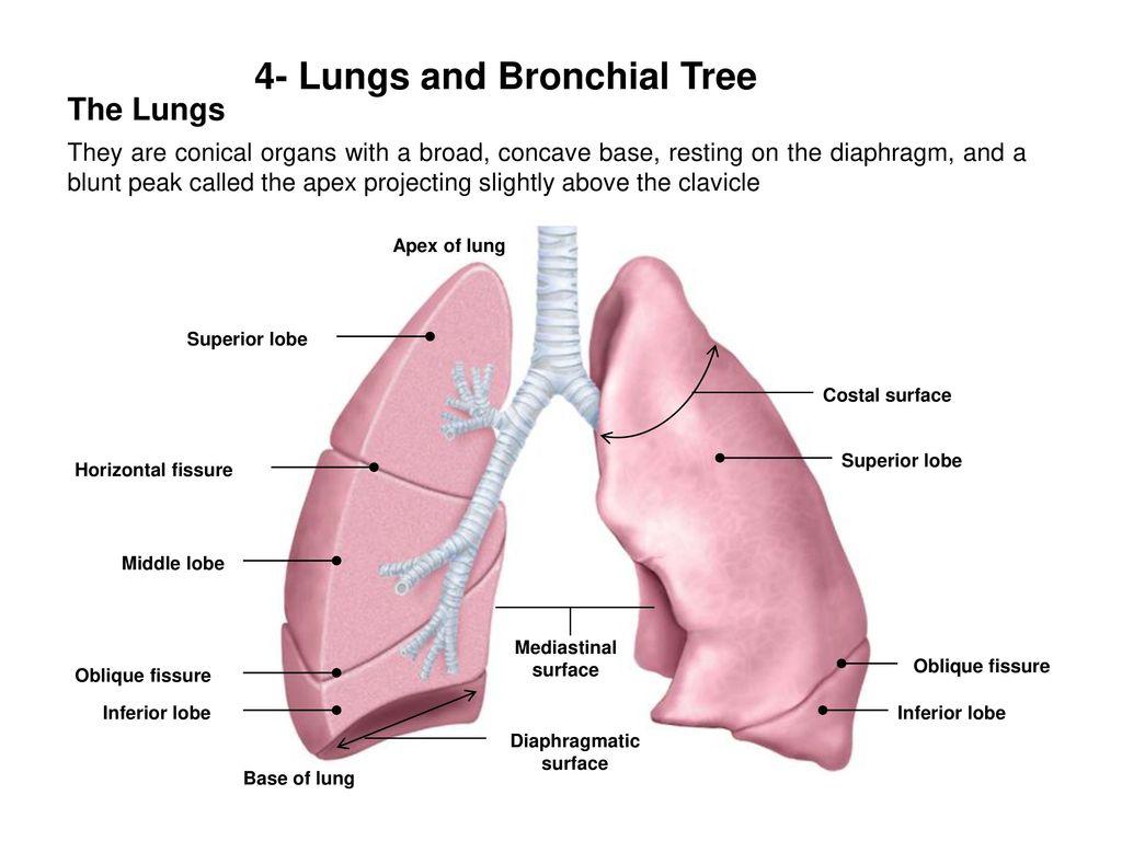 Macrosomia mature lungs