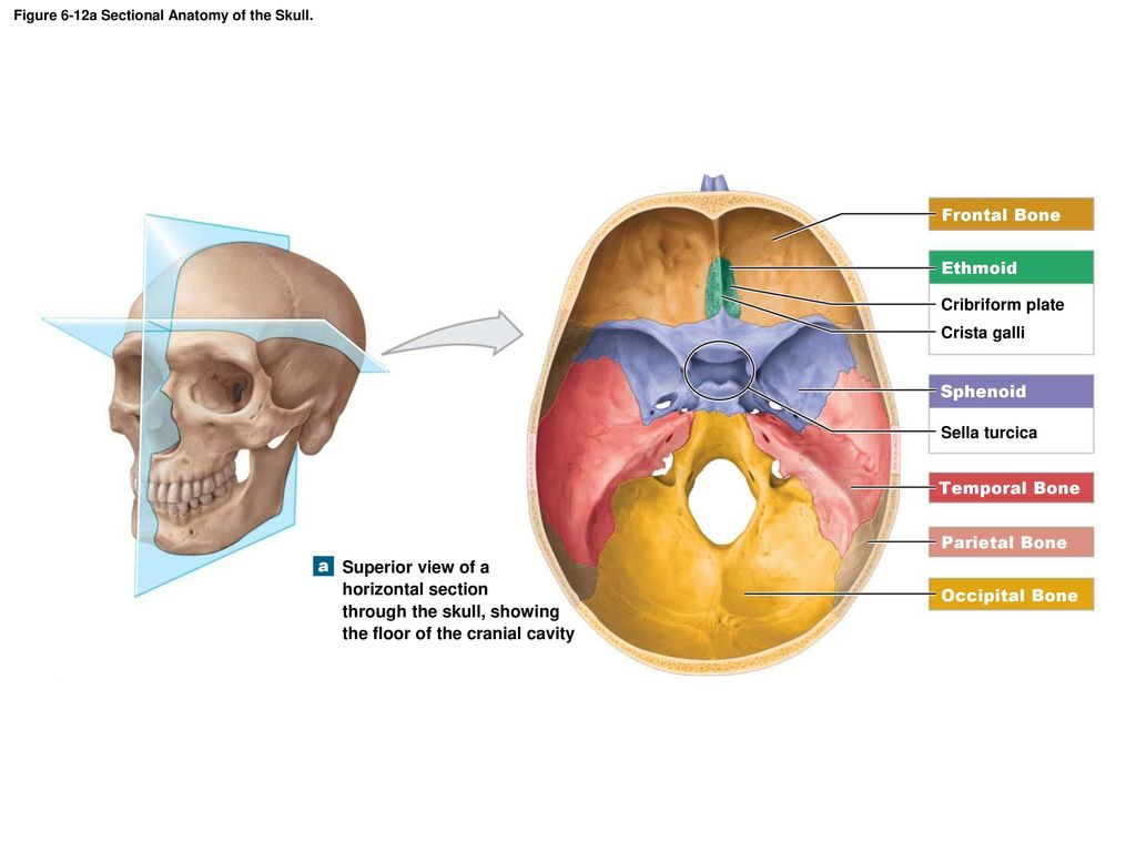 superior view of the base of the skull anatomy kenhub - HD 1024×768