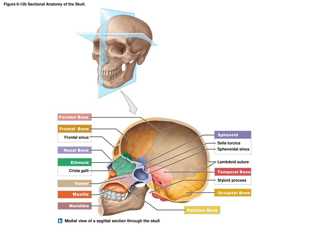 The Skull (6-7) Protects the brain - ppt download