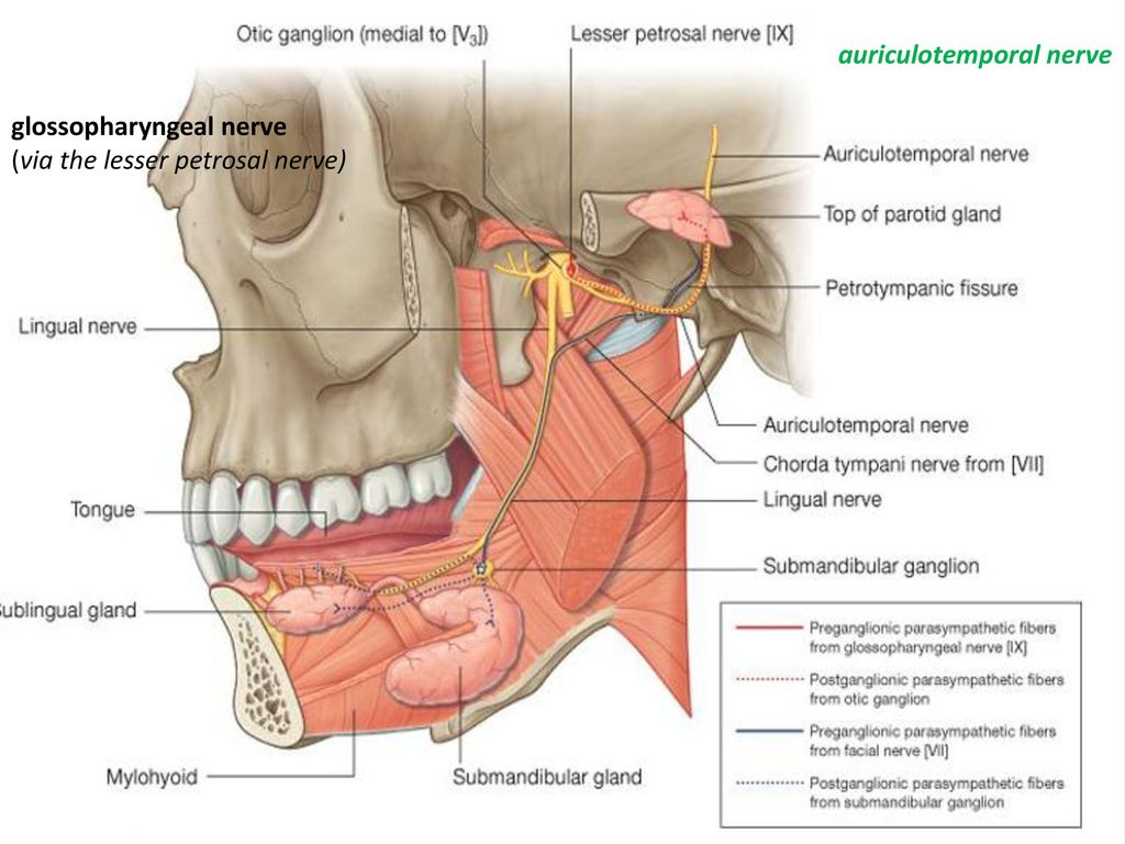 Pterygopalatine Fossae - ppt download