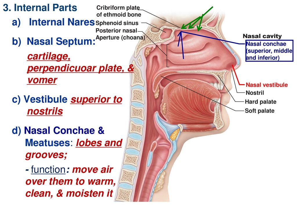 Ch 22 The Respiration System - ppt download
