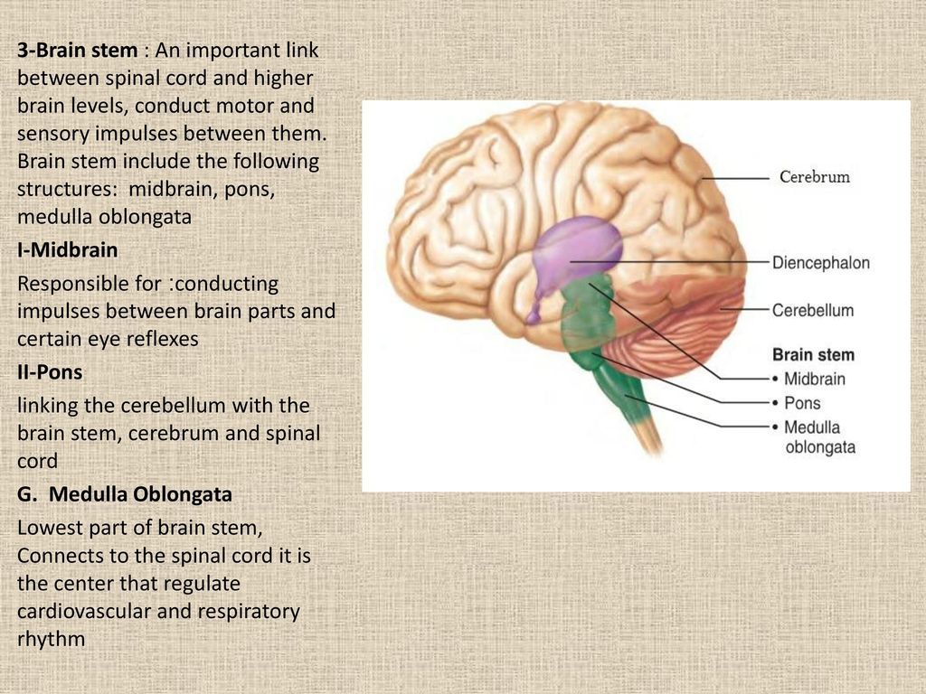 Anatomy of the nervous system (NS) - ppt download