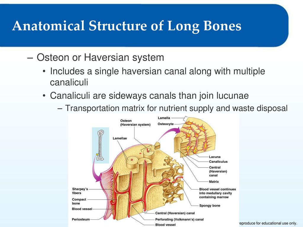 Human Bone Structure Diagram Sideways Free Download Wiring Diagrams Yale Erc040 The Skeletal System 4 Lesson 1 As A Living Tissue Anatomical Of Long Bones At Anatomy Body