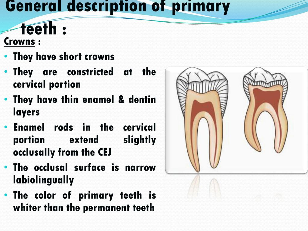 Morphology of primary teeth - ppt video online download