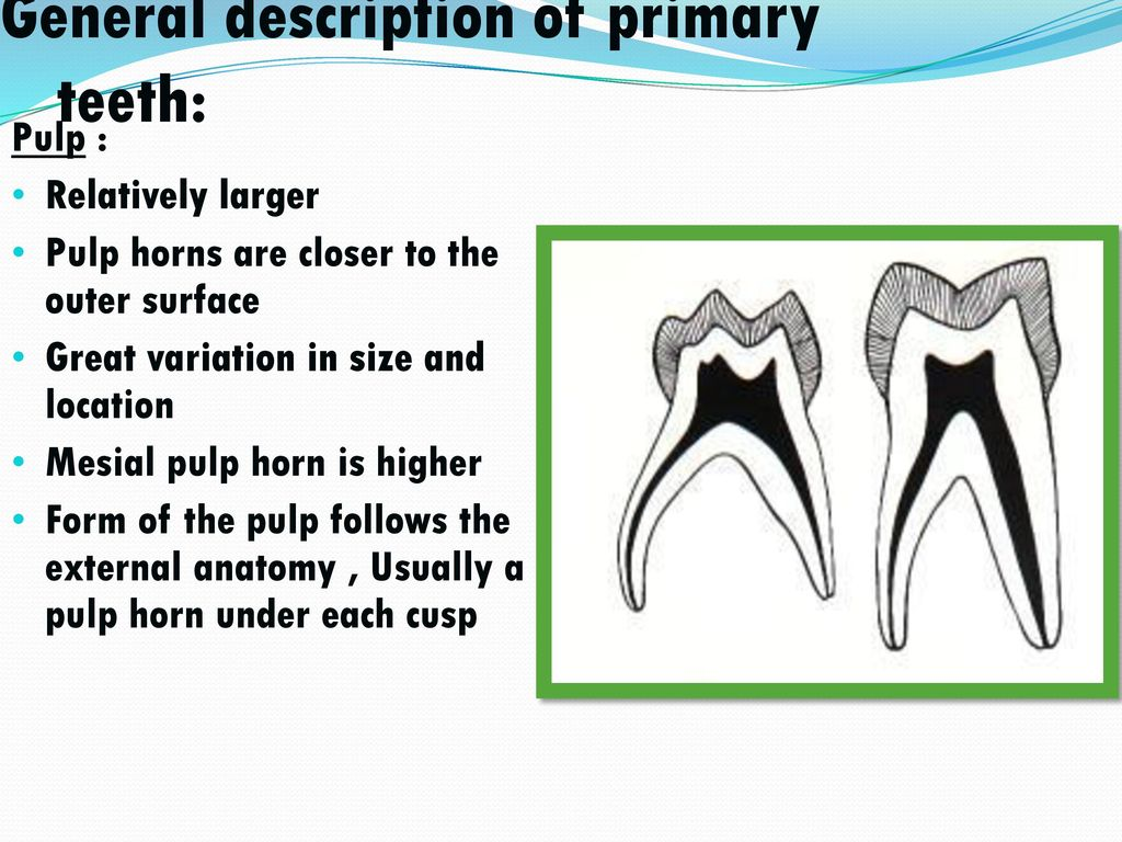 Morphology Of Primary Teeth Ppt Video Online Download