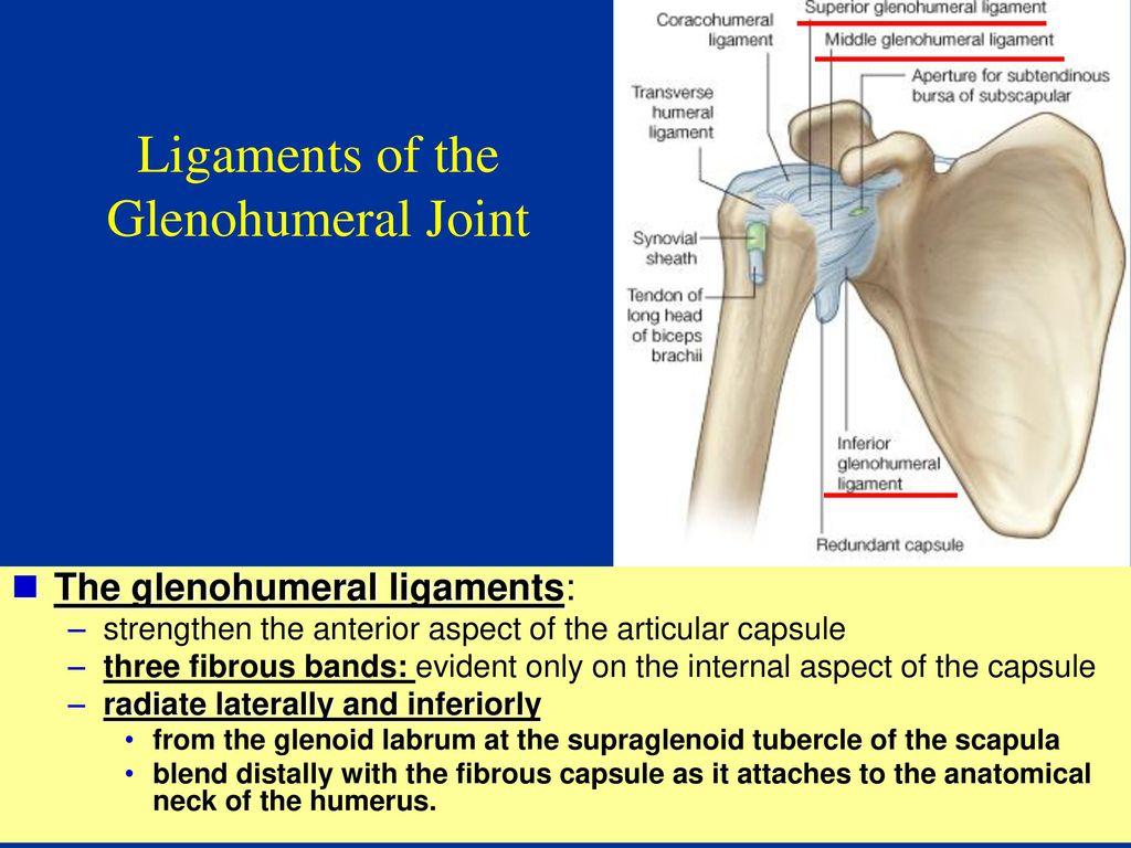 Anatomy of Shoulder Complex - ppt download