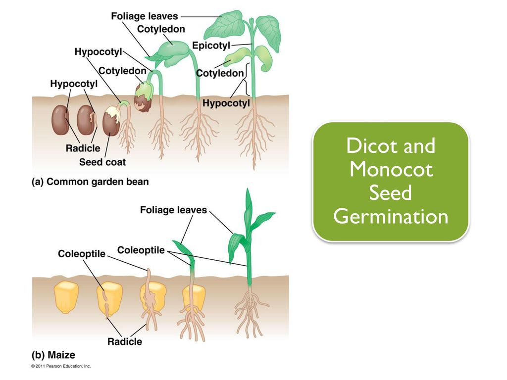 Angiosperm Reproduction Ppt Video Online Download Seed Germination Diagram Monocot 25