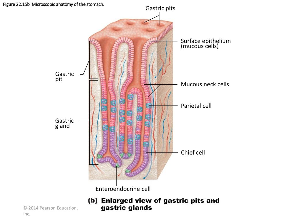 Figure 22.2 Gastrointestinal tract activities. - ppt download