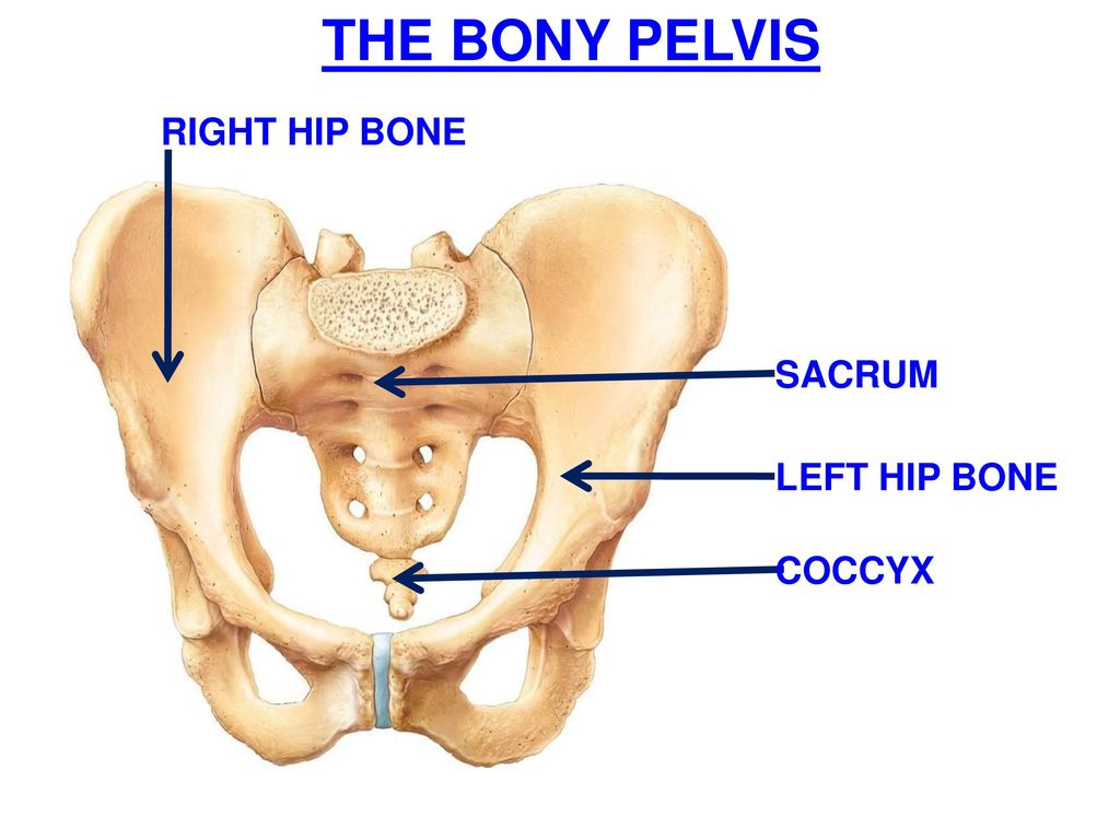 Modern Anatomy Of Right Hip Composition - Anatomy and Physiology ...
