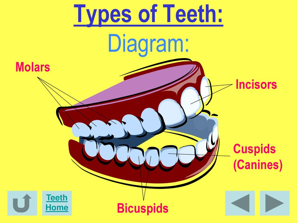 Facts about dental health ppt download 5 types of teeth diagram ccuart Image collections