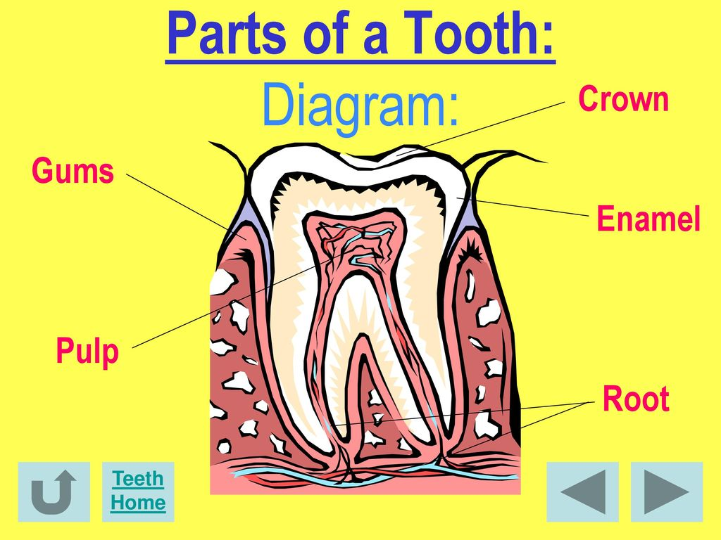 dental pulp diagram facts about dental health! - ppt download