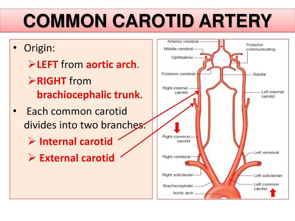 Aortic Arch Diagram Carotid Artery - DIY Enthusiasts Wiring Diagrams •