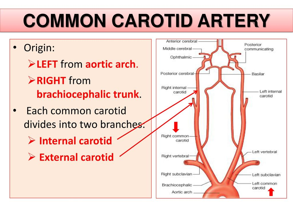 Old Fashioned Left Internal Carotid Artery Image Collection - Human ...