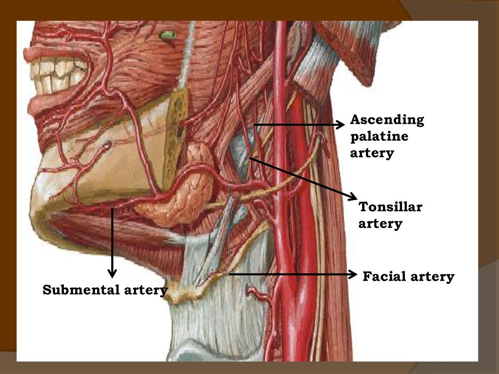 BLOOD AND NERVE SUPPLY TO HEAD & NECK - ppt video online download