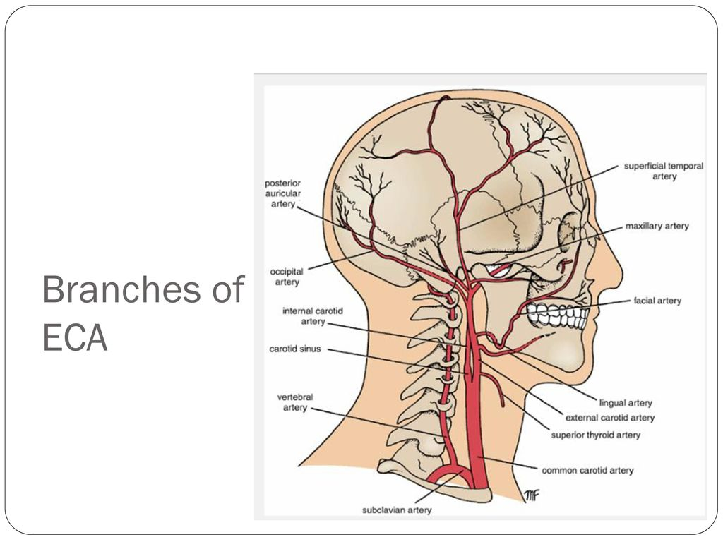 External Carotid Artery Ppt Download