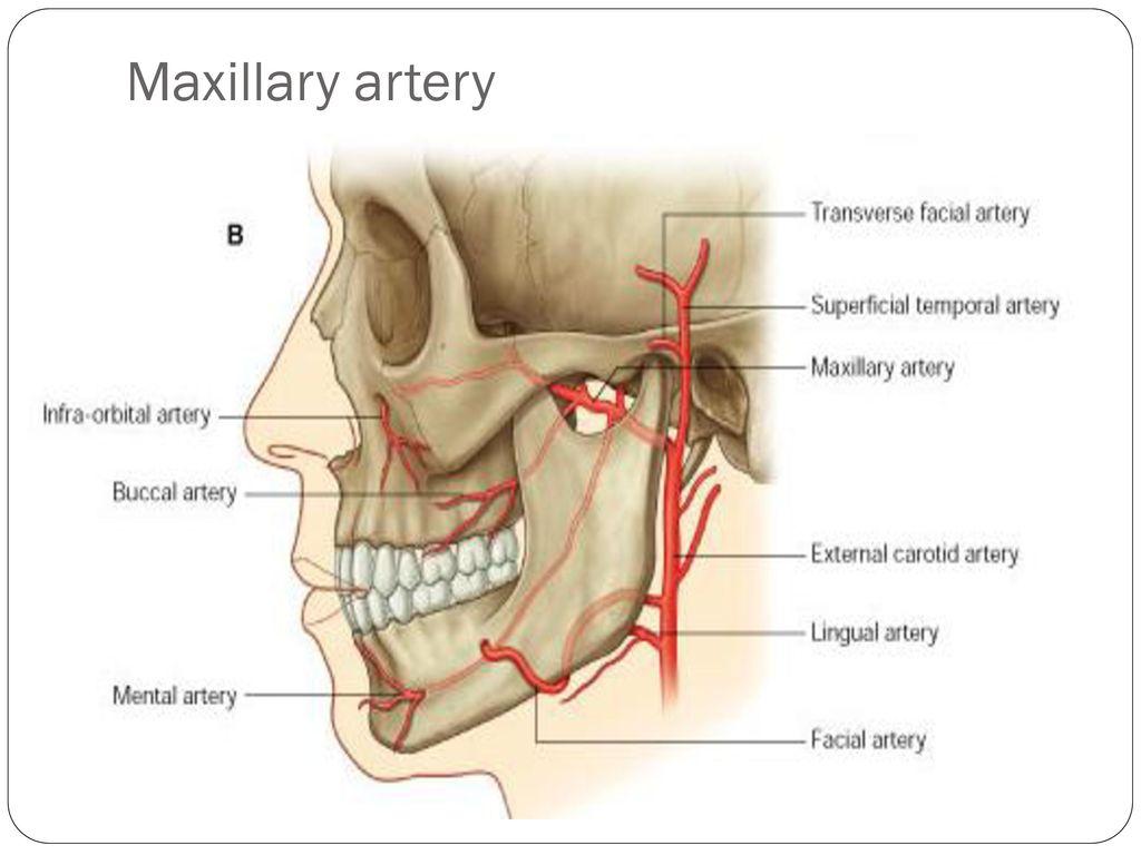External carotid artery - ppt download