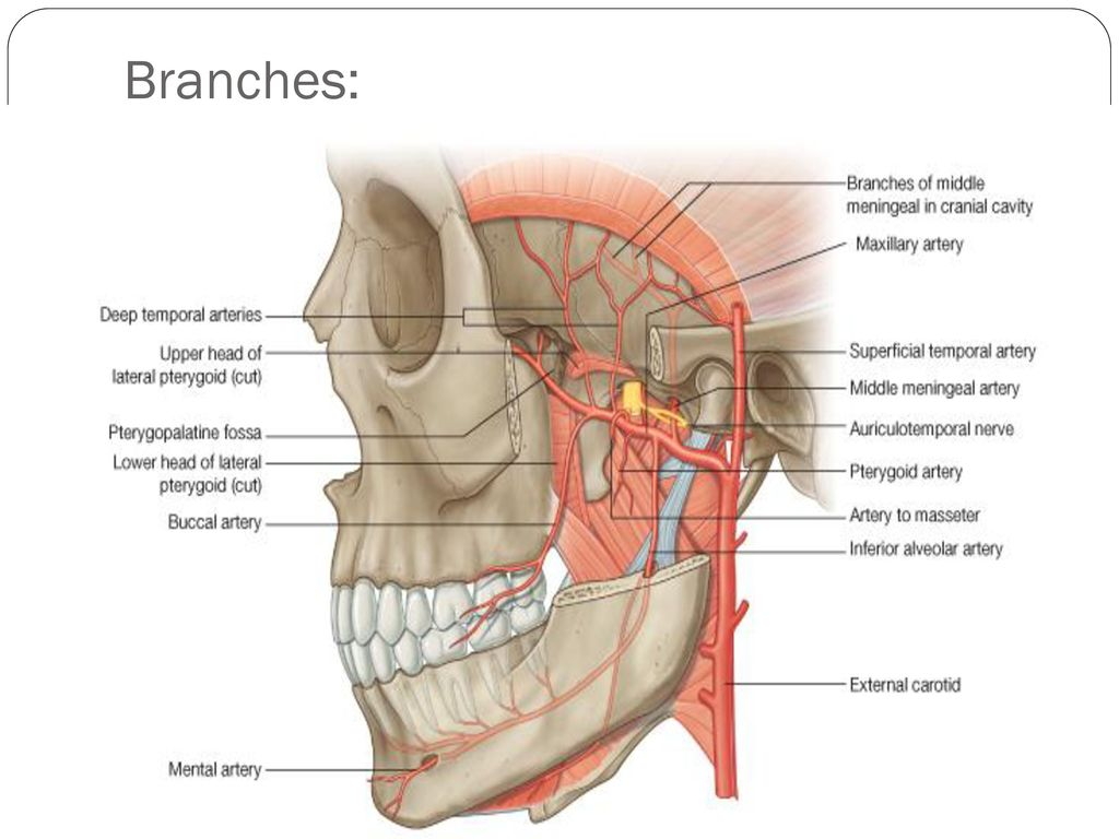 External carotid artery - ppt download