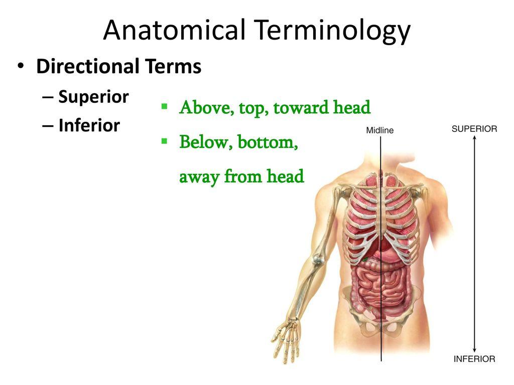 Anatomical Terminology - ppt download