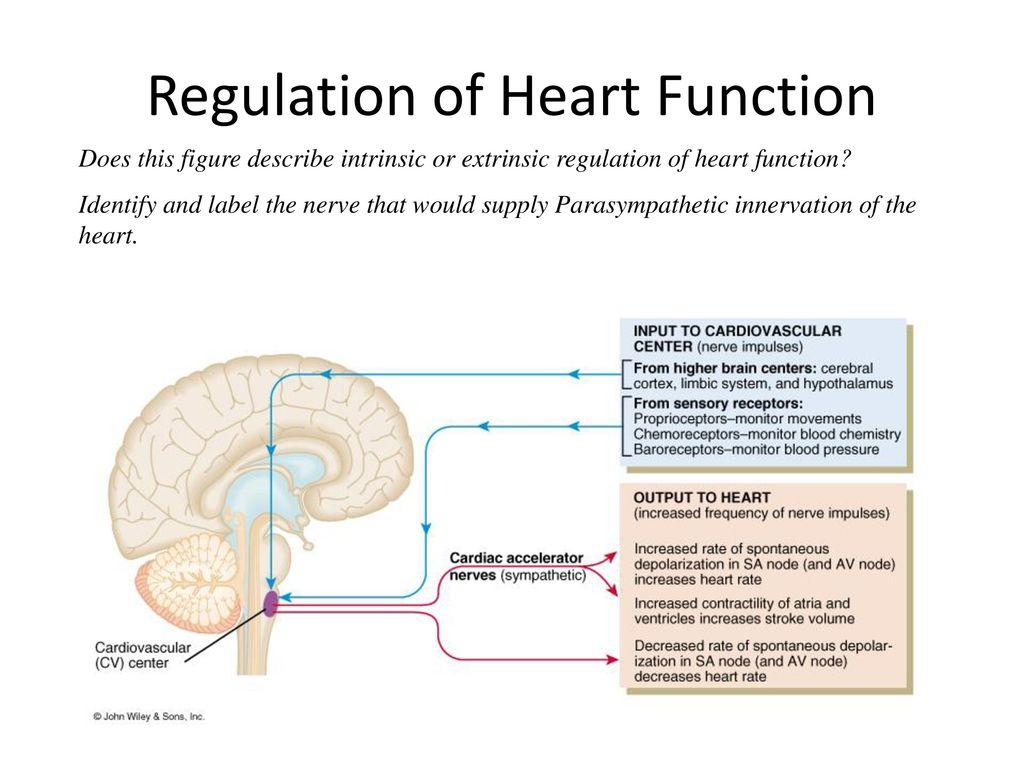 Heart Function Regulation Diagram Block And Schematic Diagrams
