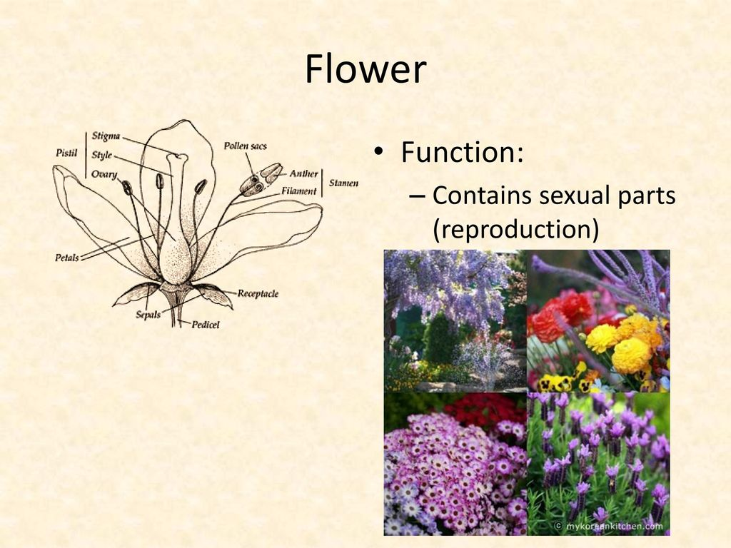 Plant parts and adaptations ppt download 8 flower function contains sexual parts reproduction izmirmasajfo