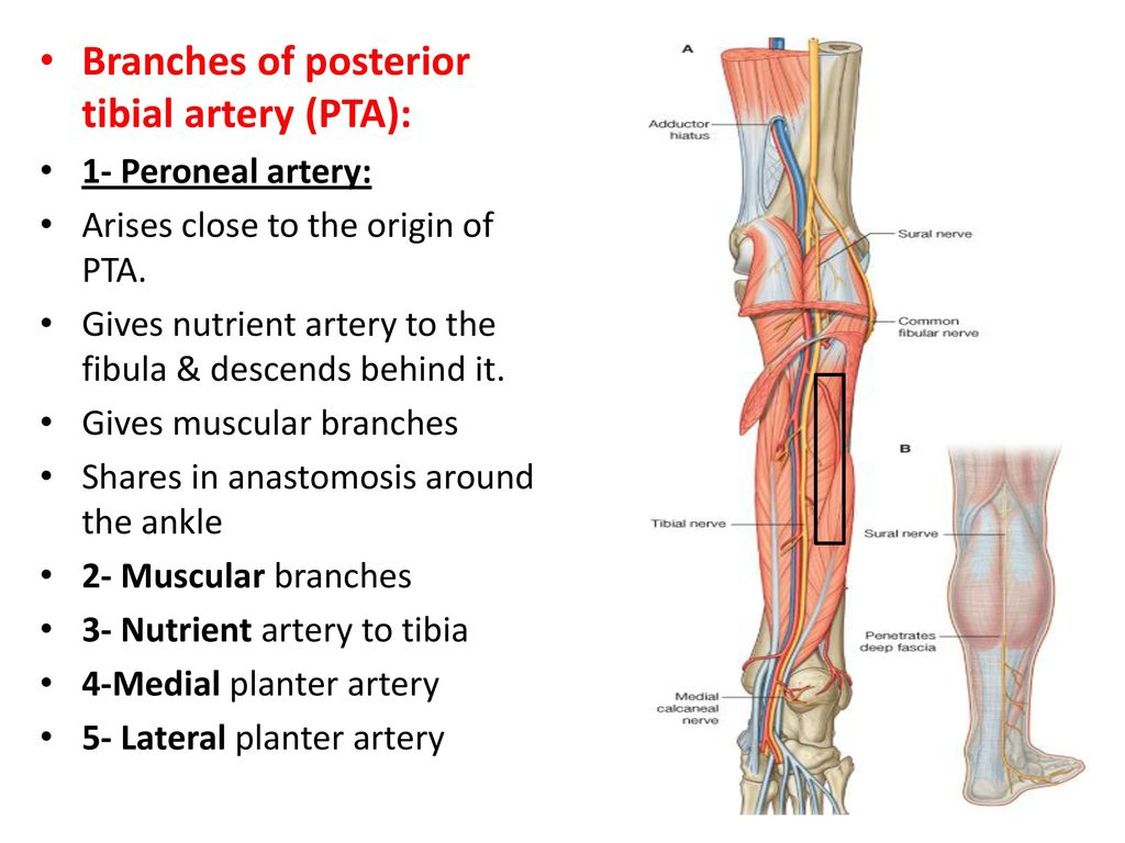 Colorful Peroneal Artery Anatomy Ornament - Human Anatomy Images ...