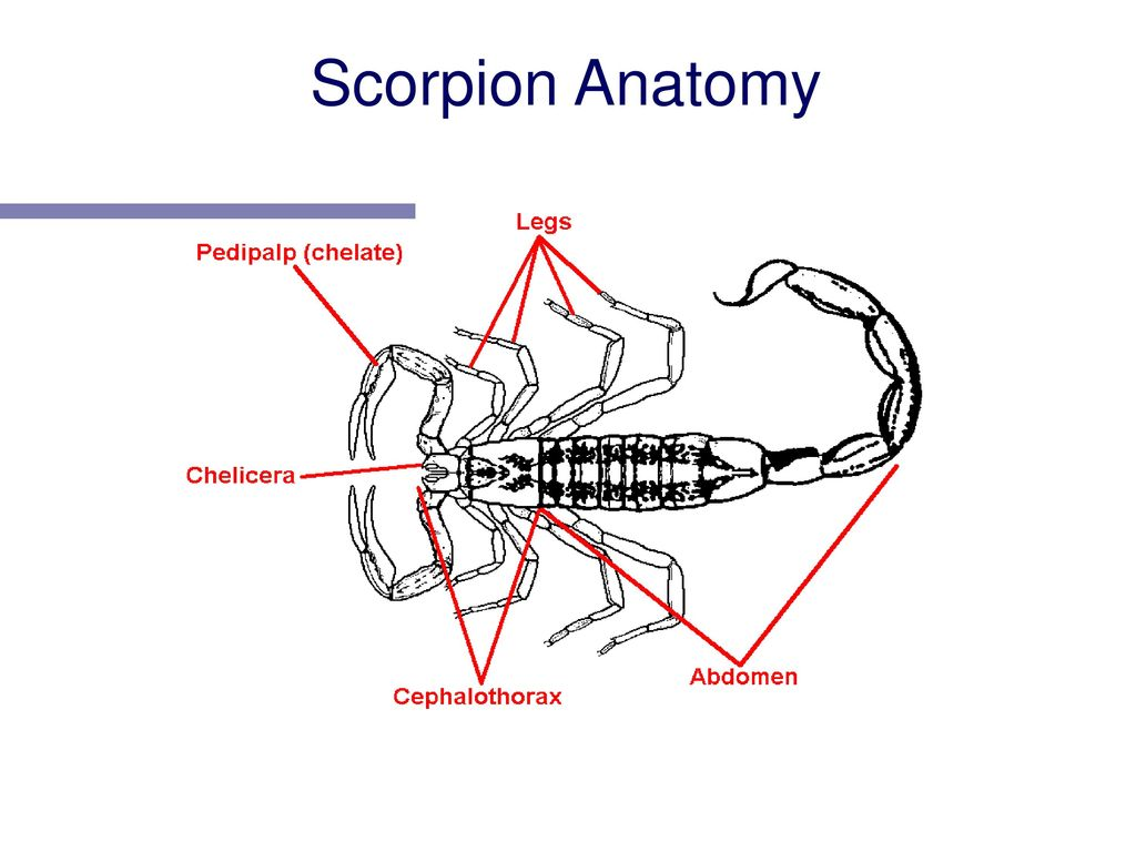 Arthropods. - ppt download