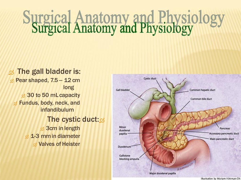 GALL BLADDER. GALL BLADDER long infandibulum  The gall bladder is ...