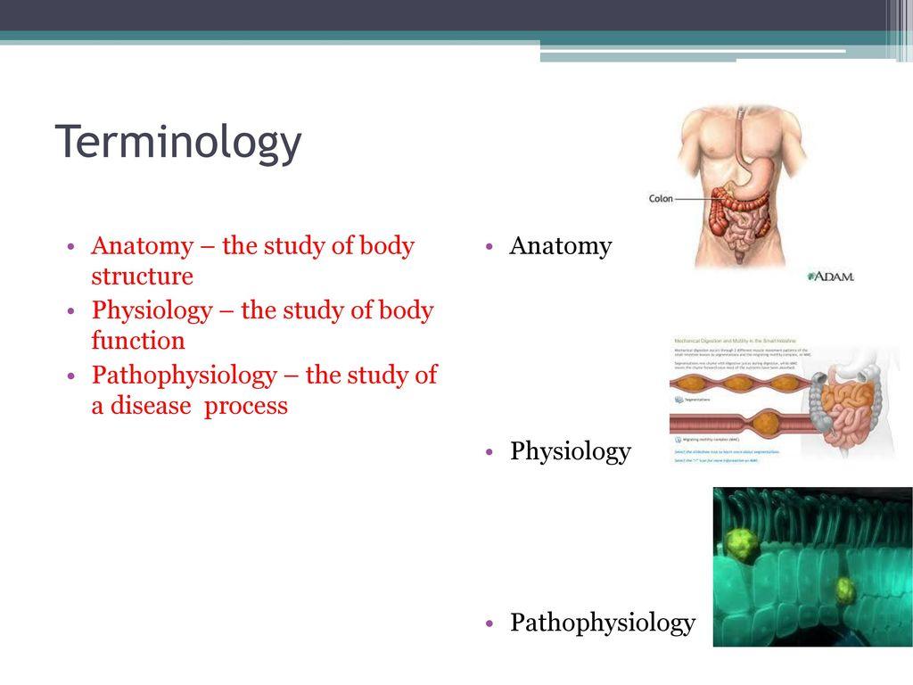 Digestive system Gastroenterology. - ppt download