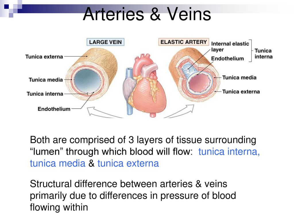 Cardiovascular system - Blood Vessels Anatomy - ppt download