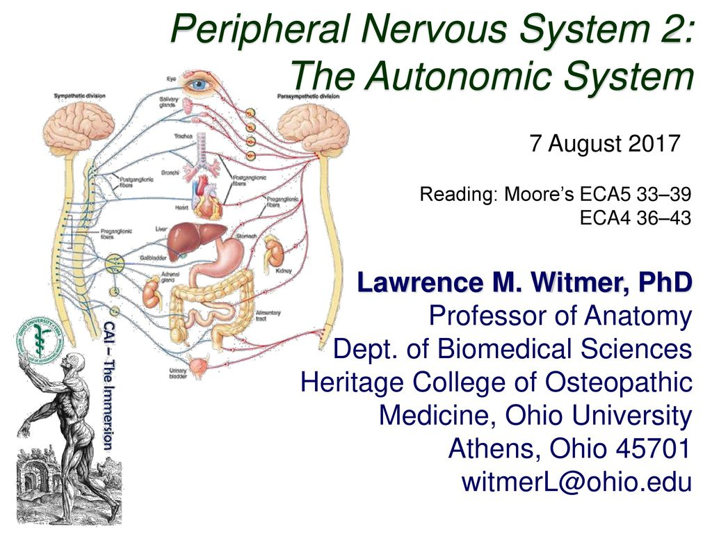 Peripheral Nervous System 2: The Autonomic System - ppt download