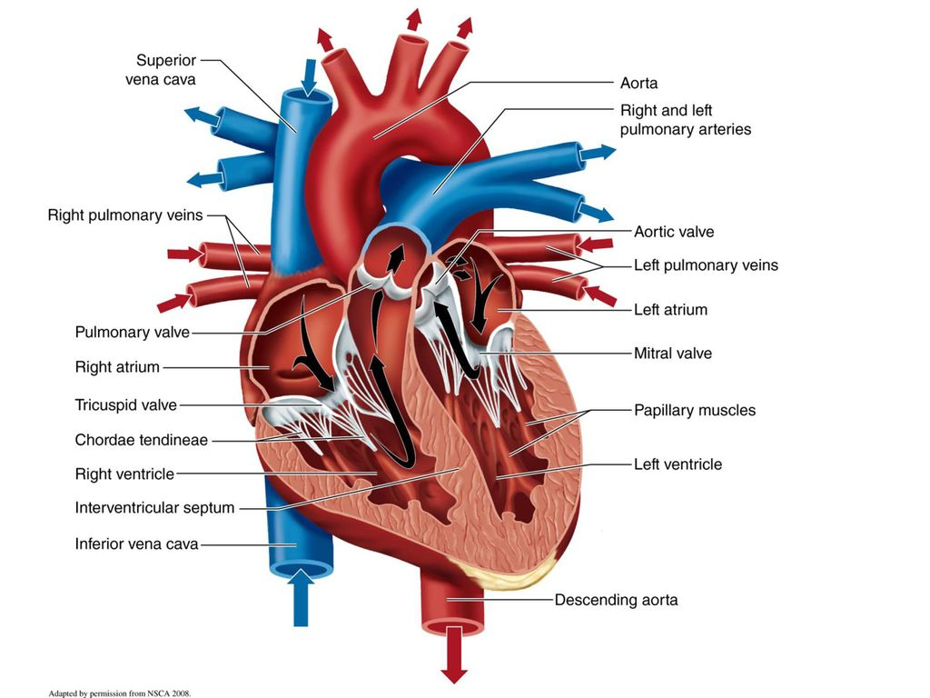 How Exercise Can Change the Physiology and Fitness of Your Heart ...