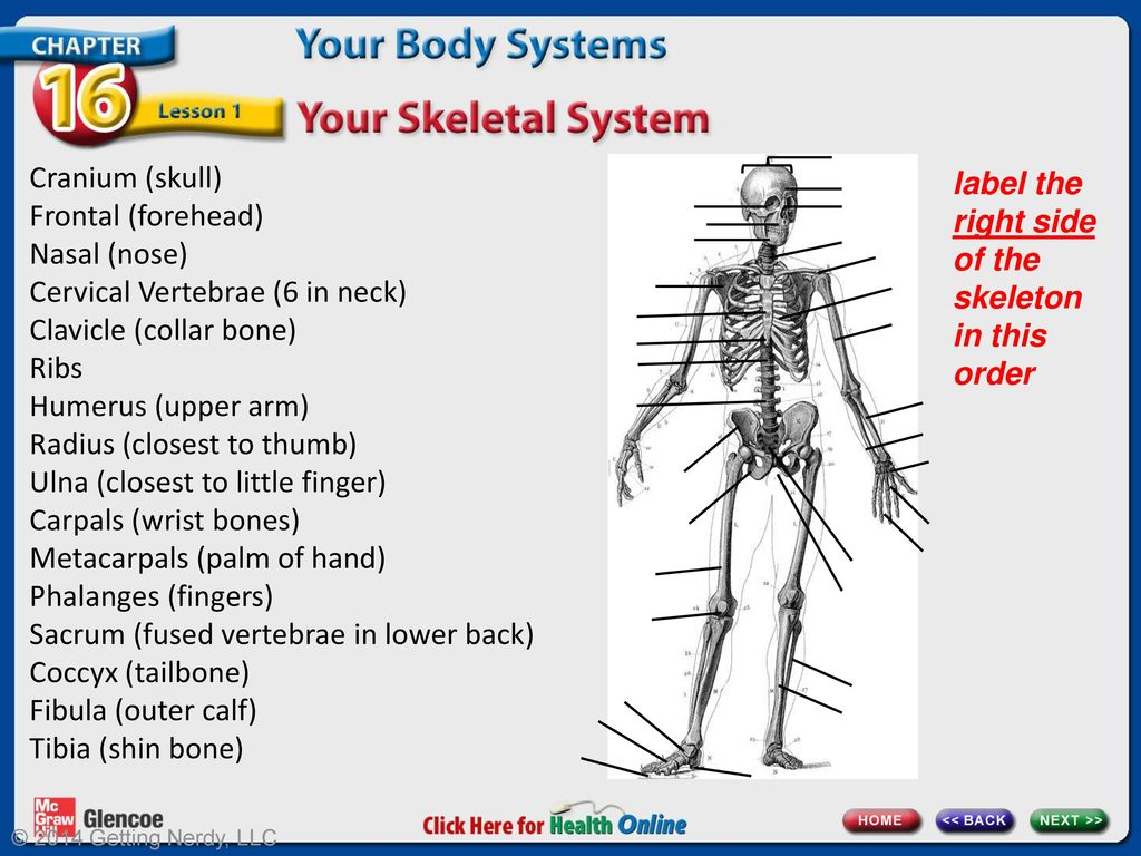 Chapter 16 Your Body Systems Lesson 1 Your Skeletal System Ppt
