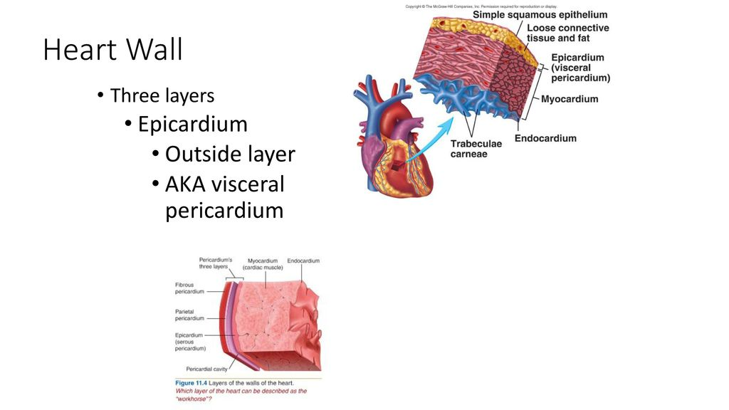 The Anatomy Of The Heart Ppt Download