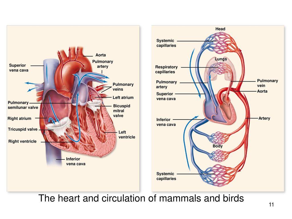 The Circulatory System Ppt Download Bird Heart Diagram And Circulation Of Mammals Birds