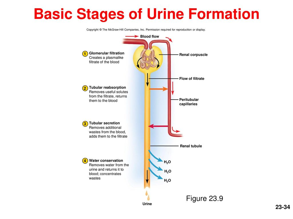urine formation The following points highlight the three processes of formation of urine in human body the processes are: 1 glomerular filtration 2 tubular reabsorption 3 tubular secretion.