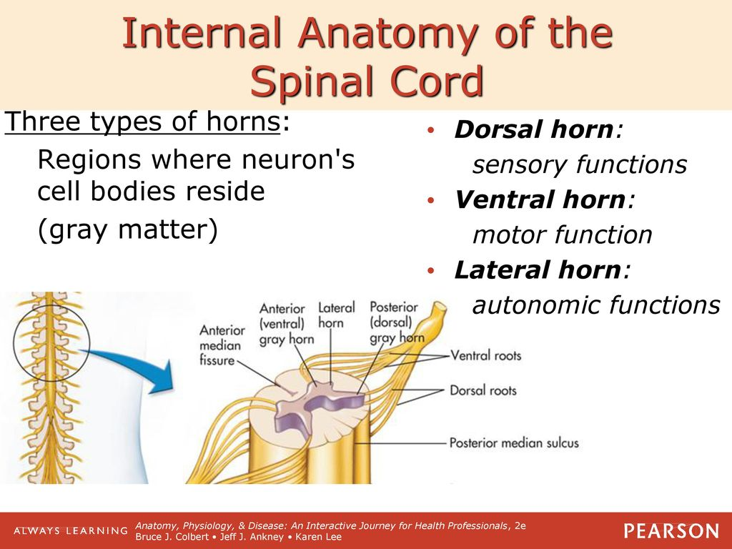 Spinal Cord and Spinal Nerves - ppt download