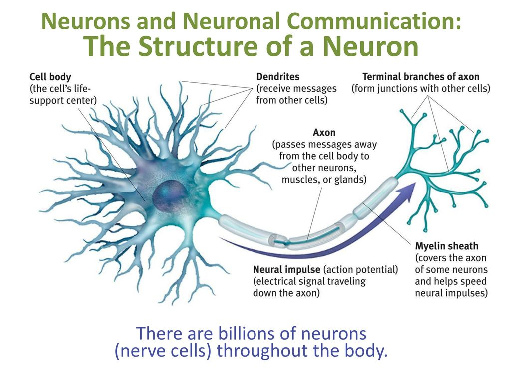Neurons and neuronal communication the structure of a neuron ppt neurons and neuronal communication the structure of a neuron ccuart Choice Image