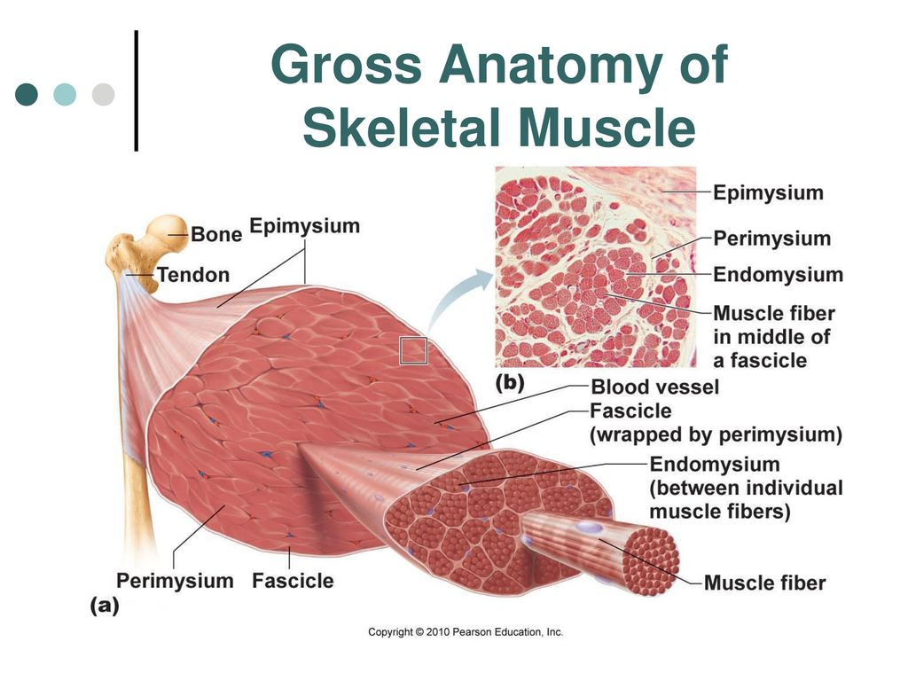 MUSCLES AND MUSCLE TISSUES - ppt download