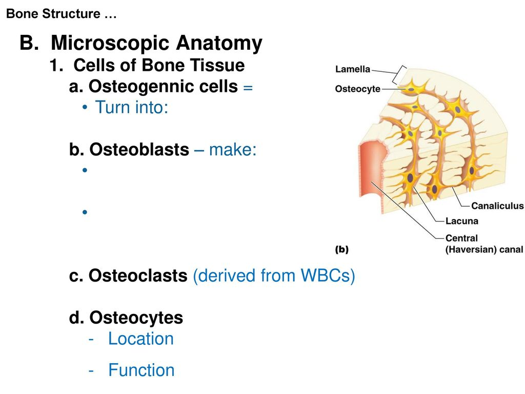 Microscopic Bone Anatomy Choice Image - human body anatomy
