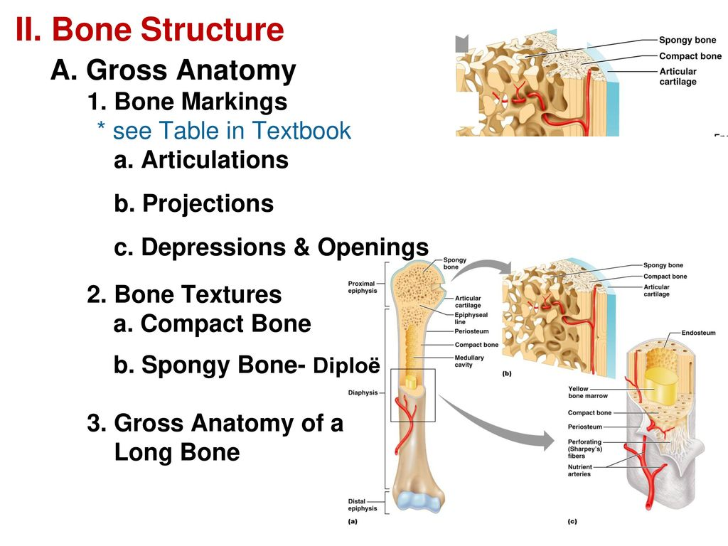 Ch. 6 Bone Tissue & The Skeletal System - ppt download