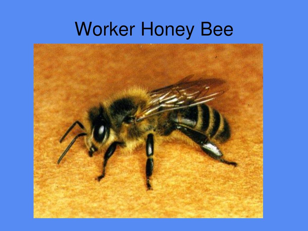 Honey Bee Anatomy and Physiology - ppt download