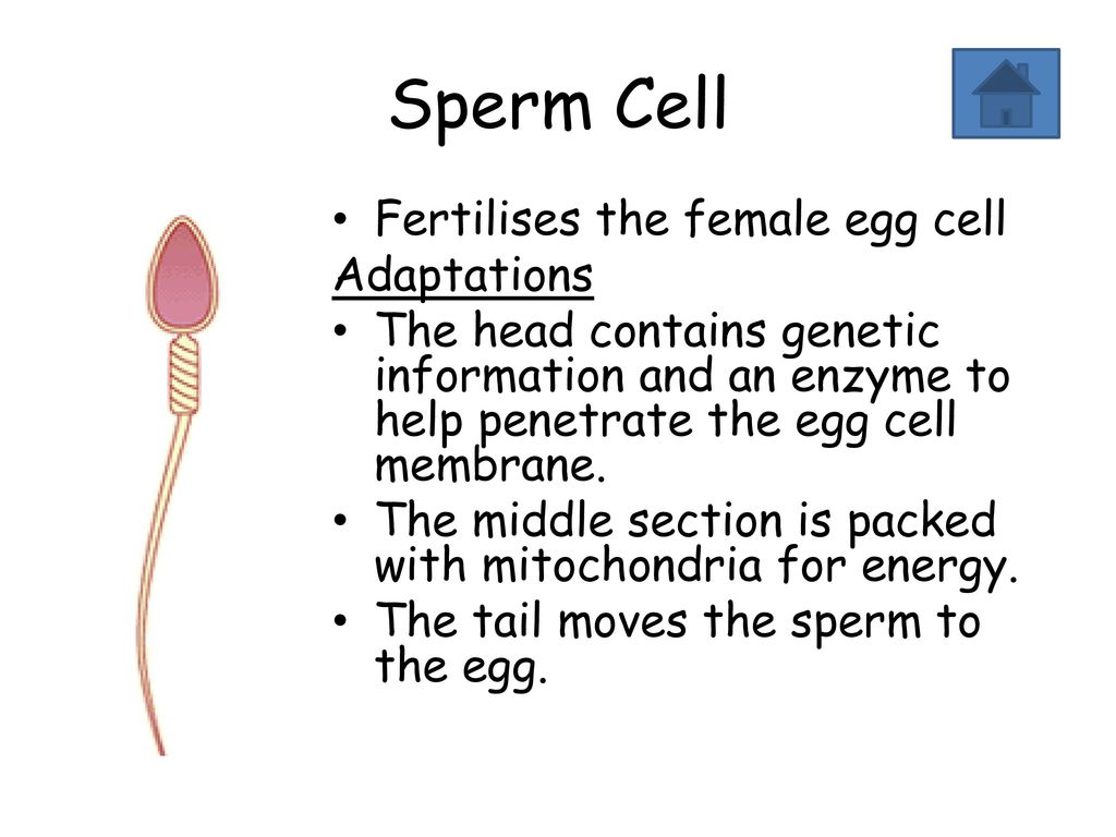 Two adaptions of a sperm cell