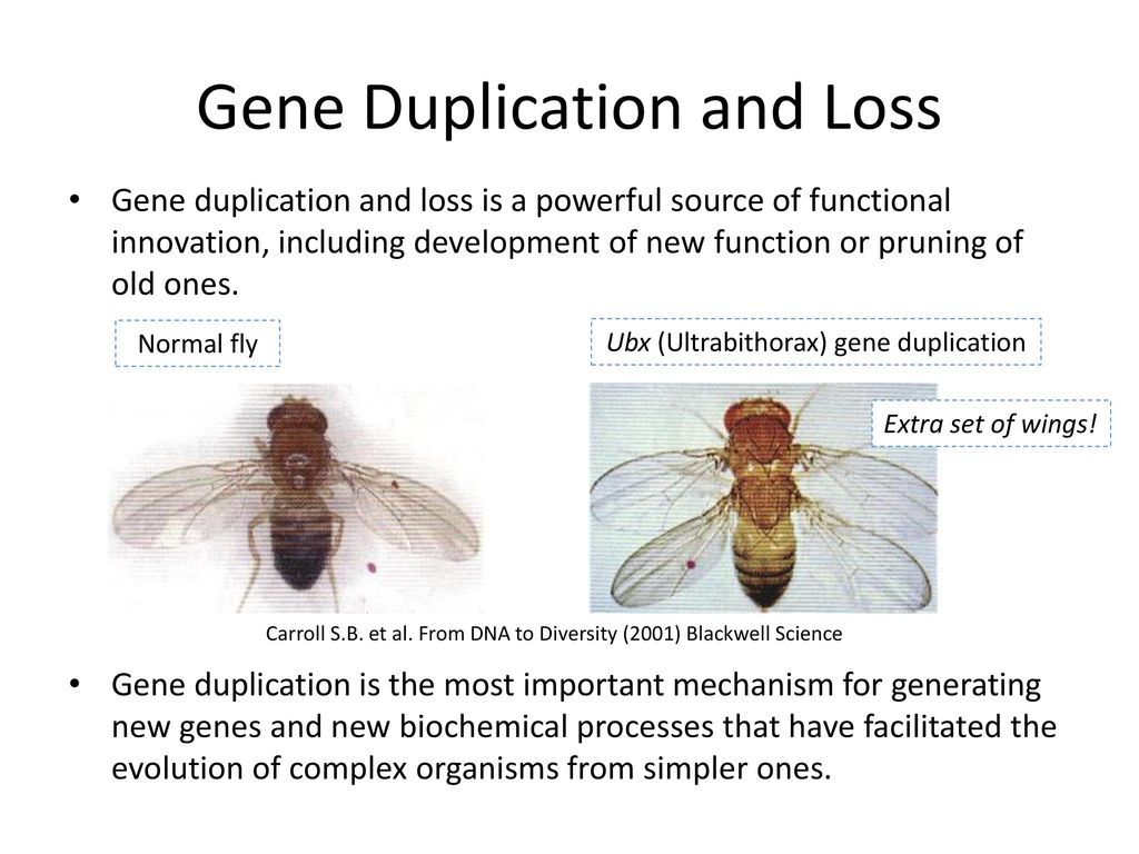 Gene Duplication and Loss