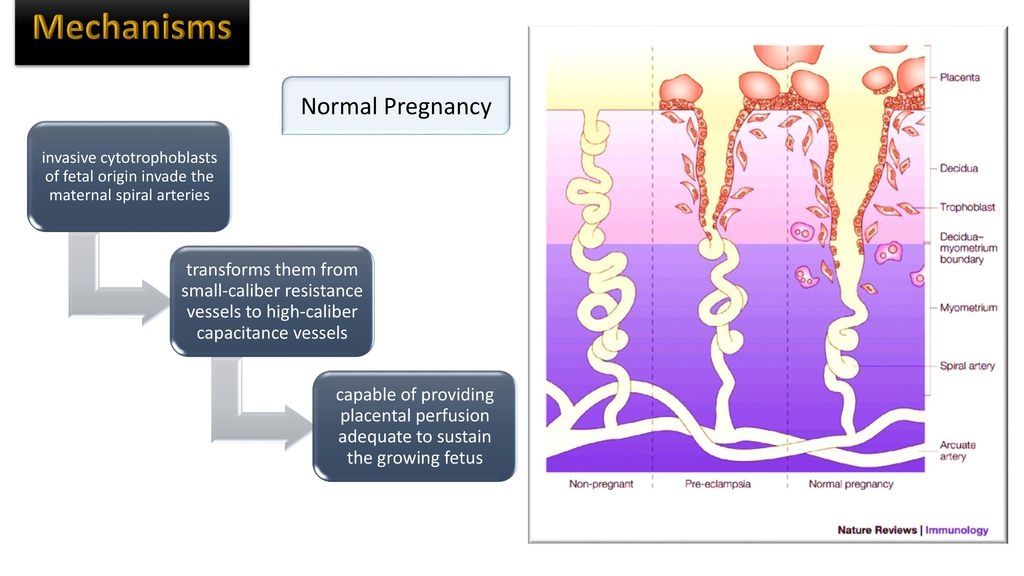 Mechanisms Normal Pregnancy