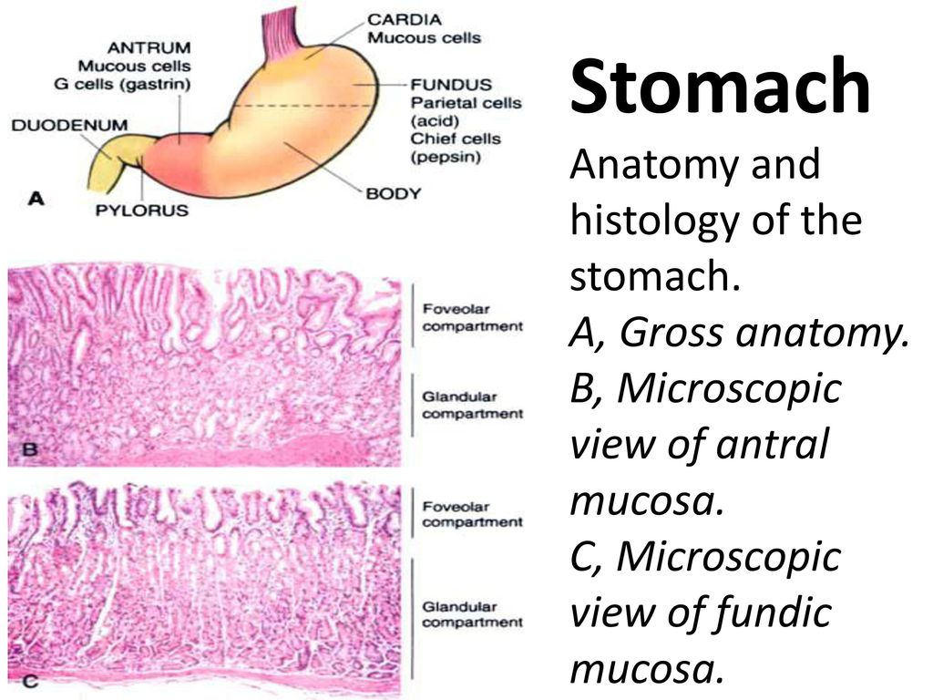 Stomach Anatomy and histology of the stomach. A, Gross anatomy - ppt ...