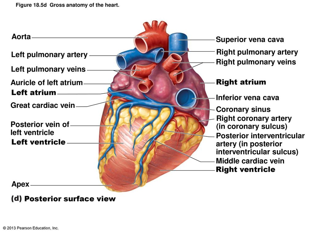 The Pulmonary and Systemic Circuits - ppt download