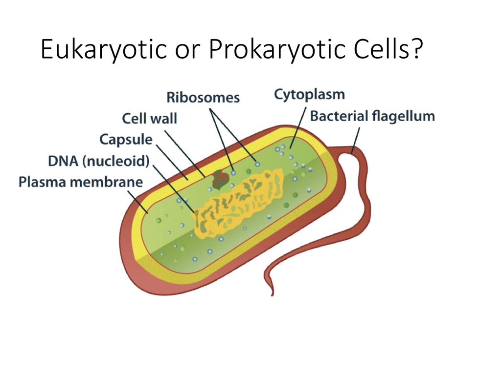 Cells Chapter 7 Cell Theory Prokaryote Vs Eukaryote Ppt Prokaryotic Diagram Below Learn About Eukaryotic Or 18