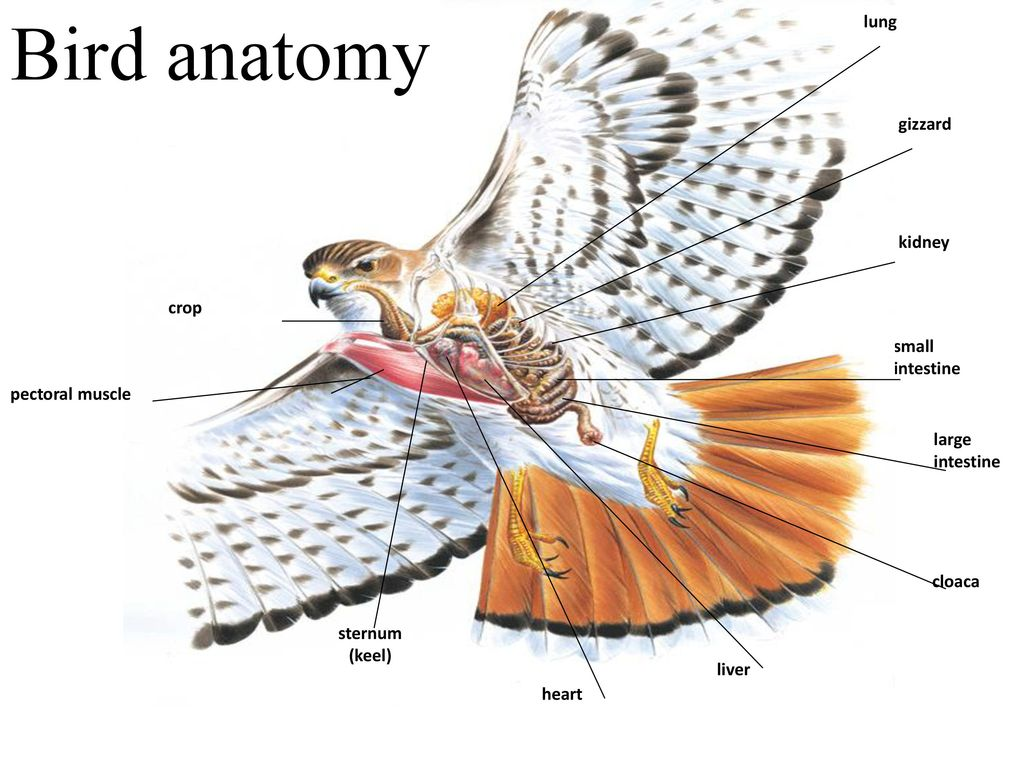 Attractive Bird Anatomy Crop Image - Internal organs diagram ...